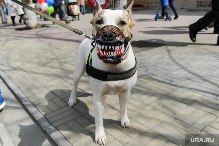 Какие породы собак должны выгуливаться в наморднике: в россии (список)